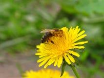 Een bij op een gele bloem Stock Foto's