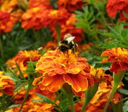 Een bij op een oranje schaduw verzamelt stuifmeel Close-up stock afbeeldingen