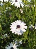 Een bij op een witte bloem royalty-vrije stock afbeelding