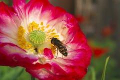 Een bij verzamelt honing royalty-vrije stock fotografie
