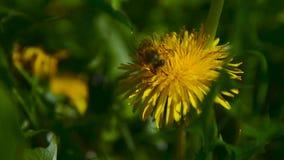 Een Bij verzamelt Nectar op Paardebloem in Tuin 2 stock footage