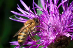 Een bij verzamelt nectar van bloemen Stock Foto's
