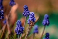 Een bij verzamelt nectar van bloemen van Muscari Royalty-vrije Stock Afbeelding