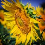 Een bij verzamelt nectar van zonnebloem Stock Afbeeldingen