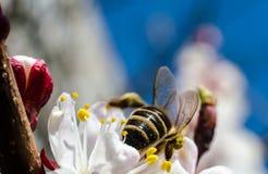 Een bij verzamelt stuifmeel op een wilde abrikozenbloem tegen blauwe sk Royalty-vrije Stock Afbeelding