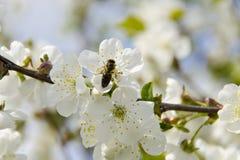 Een bij zit op een bloem van de kersenboom en verzamelt stuifmeel stock afbeeldingen