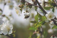 Een bij zit op een bloem van de kersenboom en verzamelt stuifmeel stock afbeelding