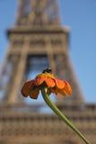 Een bijen zuigende nectar van de oranje Mexicaanse zonnebloem met Eiff Stock Afbeelding