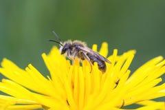 Een bijenhoogtepunt van stuifmeel op een gele bloesem stock foto