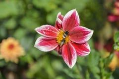 Een bijenpaar en een rood bloeien stock foto's