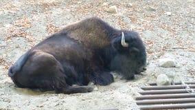 Een bizon royalty-vrije stock afbeelding