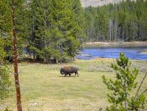 een bizon bij de rotsachtige bergen royalty-vrije stock foto's