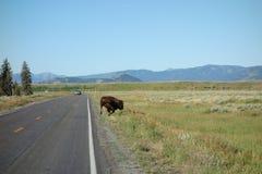 Een bizon die bij yellowstonepark lopen royalty-vrije stock afbeelding