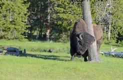 Een bizon die een boom wrijven. stock fotografie