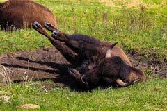 Een bizon die in een het wentelen zich kuil rollen royalty-vrije stock foto