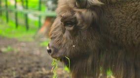 Een bizon eet gras stock videobeelden