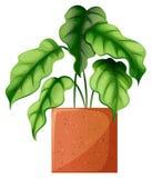 Een blad groene sierplant Stock Foto