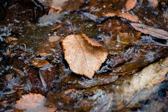Een blad van een bruine schaduw gevallen van een boom ligt in water, dat, onder de invloed van vorst, begon te bevriezen en slech Royalty-vrije Stock Afbeelding