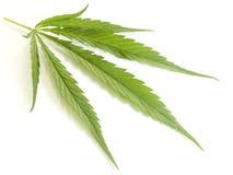 Een blad van Cannabis. Stock Afbeelding