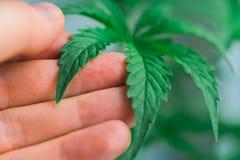 Een blad van cannabismarihuana en op de achtergrond van de handen van het concept Stock Afbeelding
