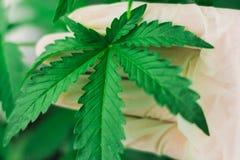 Een blad van marihuana in de handen van een arts Stock Foto's