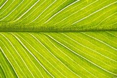 Een blad van een tropisch binnenbloemclose-up stock afbeelding