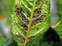 Een bladluis is suikerbiet (fabae van de Bladluis). Royalty-vrije Stock Afbeeldingen