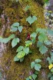 Een bladpatroon op een bemoste eiken boom stock foto's