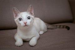 Een blauw-eyed katje met roze oren en een gestreepte staart ligt op de laag stock afbeelding