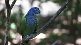 Een blauw-geleide papegaai in een park in Ecuador stock footage