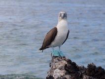 Een blauwe betaalde domoor die zich op de rots bevinden stock foto