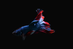 Een blauwe bijtende vis met een mooie rode staart op een zwarte achtergrond Stock Foto
