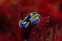 Een blauwe en gele nudibranch Stock Foto