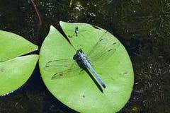 Een blauwe mannelijke Oostelijke Pondhawk-Libel stock foto