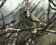 Een een blauwe meesvogel/Cyanistes-caeruleus in een boom royalty-vrije stock foto's