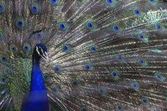 Een blauwe peafowl (Pavo-cristatus) spreidt zijn aan te trekken veren uit Stock Foto