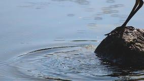 Een blauwe reiger probeert om een maaltijd in het water te vangen stock footage