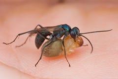 Een blauwe spinwesp met prooi Stock Foto