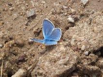 Een blauwe Vlinder Stock Foto