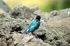 Een blauwe vogel Stock Fotografie