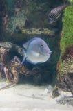Een blauwe zeevis en robuust stock afbeelding