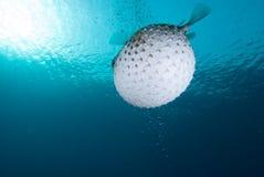 Een bloated Porcupinefish (Diodon hystrix) Stock Foto's
