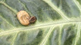 Een bloed-gevulde tik die op een groen blad kruipen stock footage