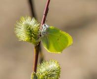 Een bloeiend takje van wilg en de eerste de lente gele vlinder Een de lentevlinder zit op een palmknop royalty-vrije stock foto