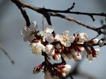 Een bloeiende abrikozenboom Stock Afbeelding