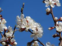 Een bloeiende abrikozenboom Royalty-vrije Stock Afbeelding