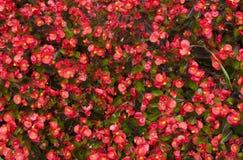 Een bloeiende begonia Royalty-vrije Stock Afbeeldingen