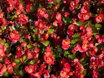 Een bloeiende begonia Royalty-vrije Stock Afbeelding