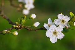 Een bloeiende boom Royalty-vrije Stock Fotografie
