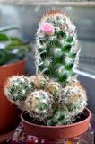 Een bloeiende cactus Royalty-vrije Stock Foto